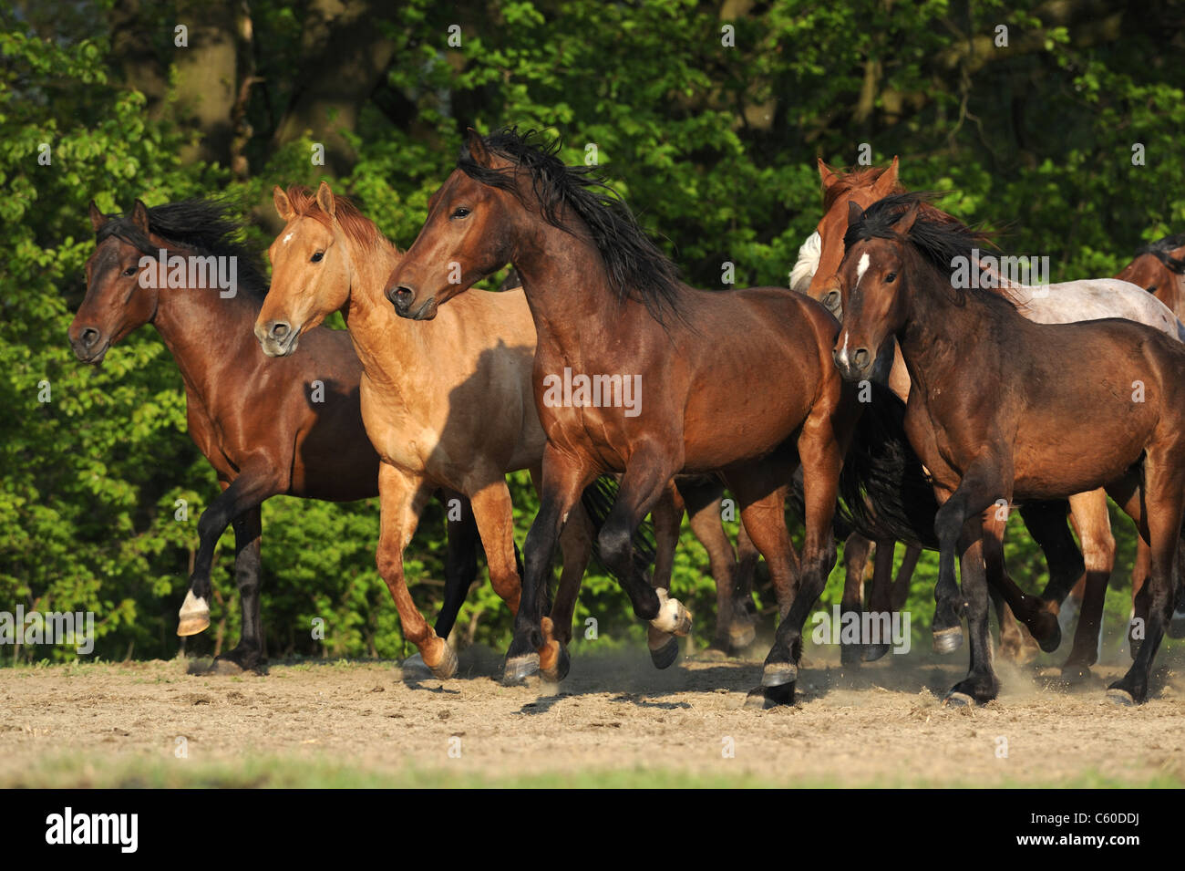 Mangalarga Marchador (Equus ferus caballus). Young stallions in a gallop in a sandy paddock. - Stock Image
