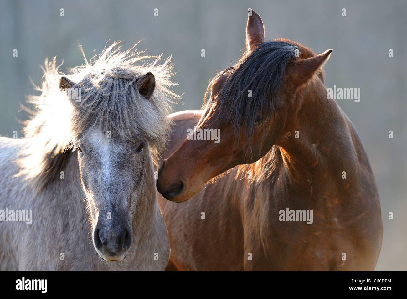 Mangalarga Marchador and Icelandic Horse (Equus ferus caballus). Two young stallions nuzzling on a meadow. - Stock Image