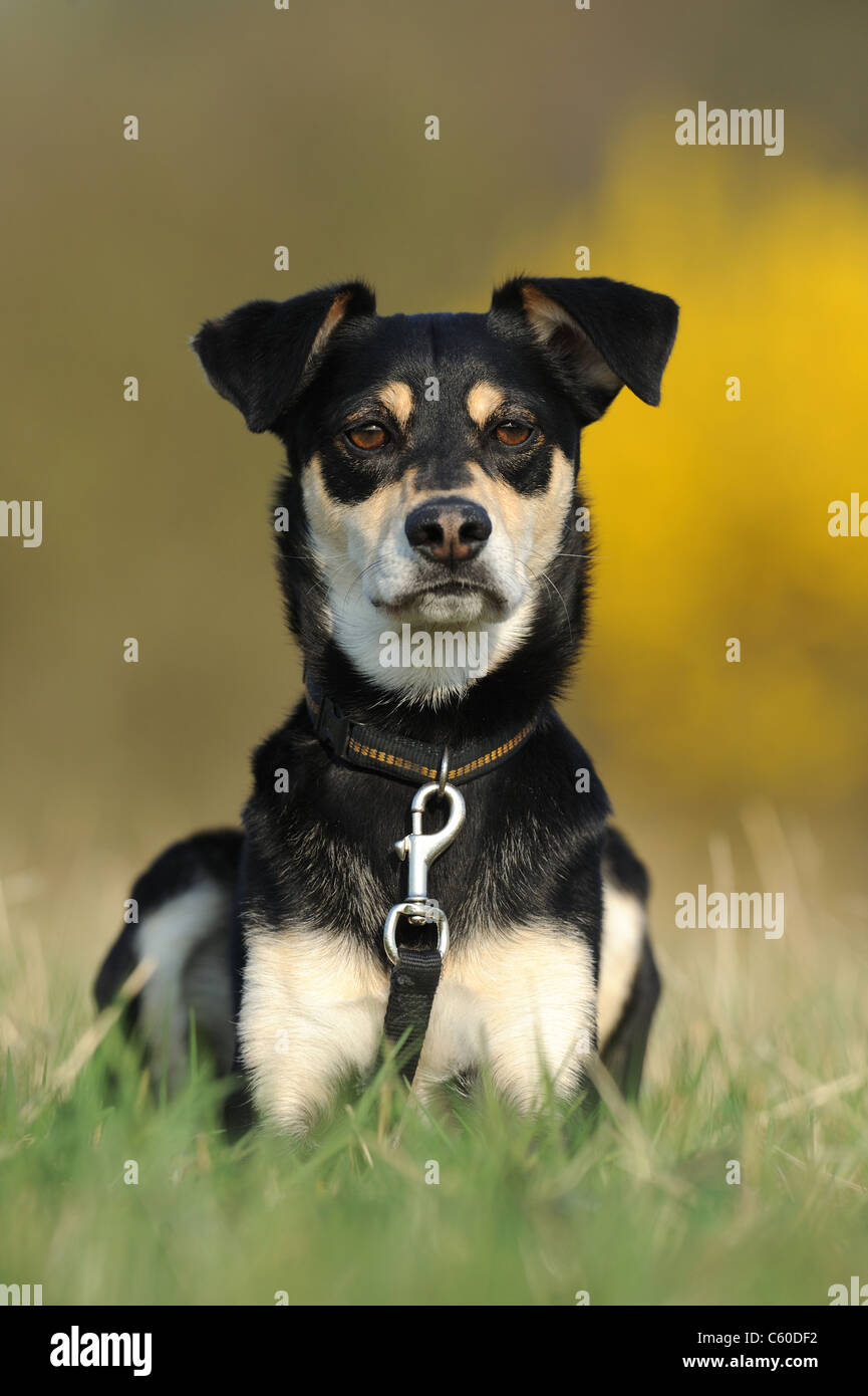 Mongrel (Canis lupus familiaris) with collar and lead, lying in grass. - Stock Image