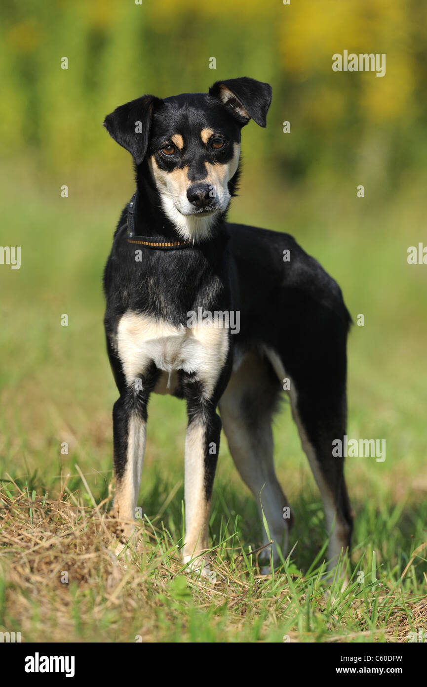 Mongrel (Canis lupus familiaris) with collar and lead, standing on grass. - Stock Image
