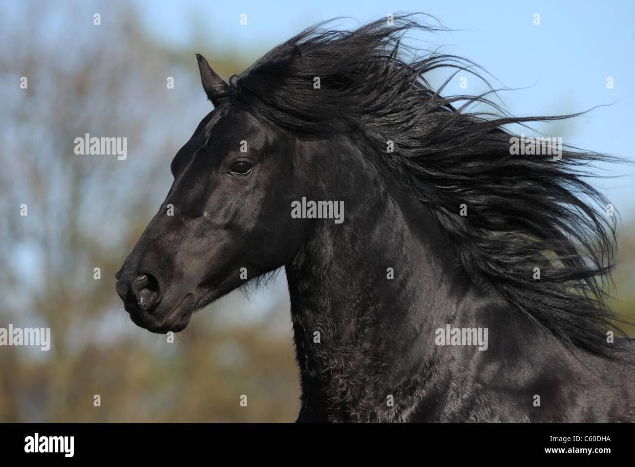 Morgan Harse (Equus ferus caballus). Black stallion with flowing mane. - Stock Image