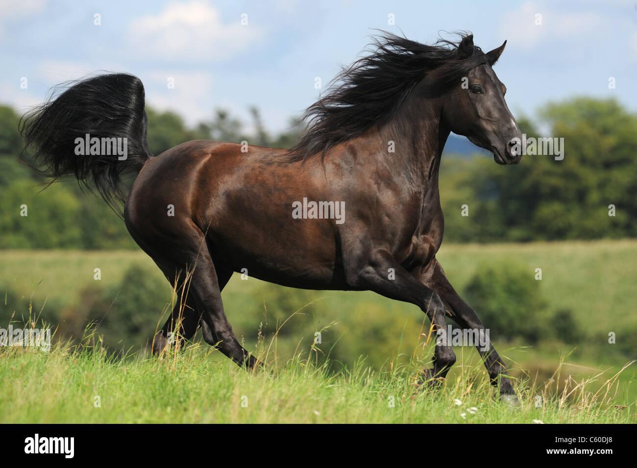 Morgan Horse (Equus ferus caballus). Black mare in a gallop on a meadow. - Stock Image
