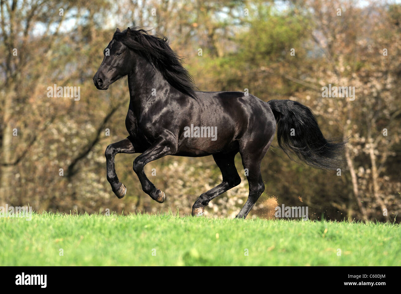 Morgan Horse (Equus ferus caballus). Black stallion in a gallop on a meadow. - Stock Image