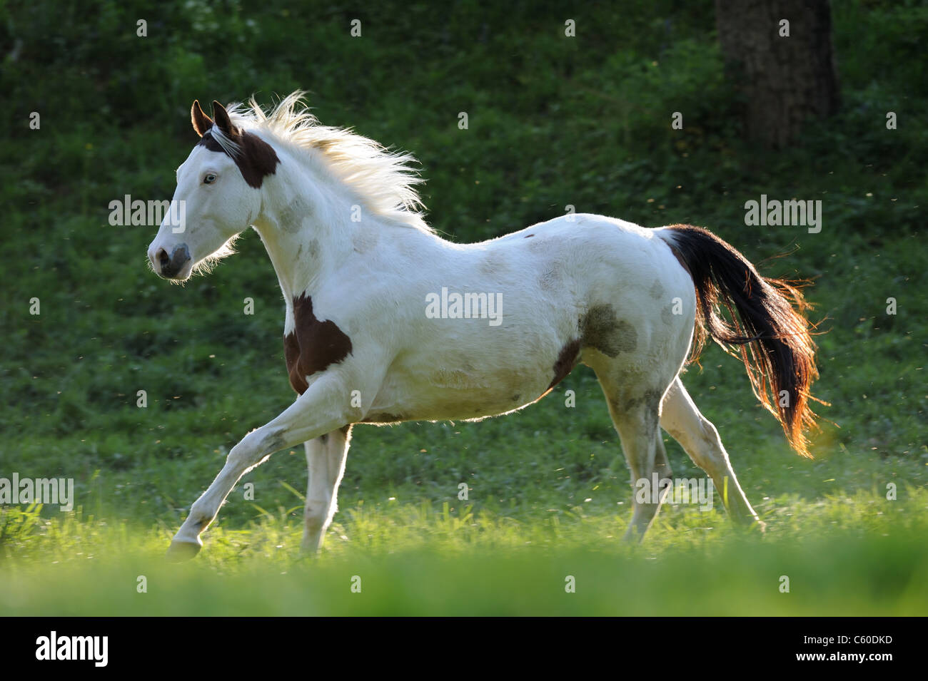 Paint Horse (Equus ferus caballus). Mare in a gallop on a meadow. - Stock Image