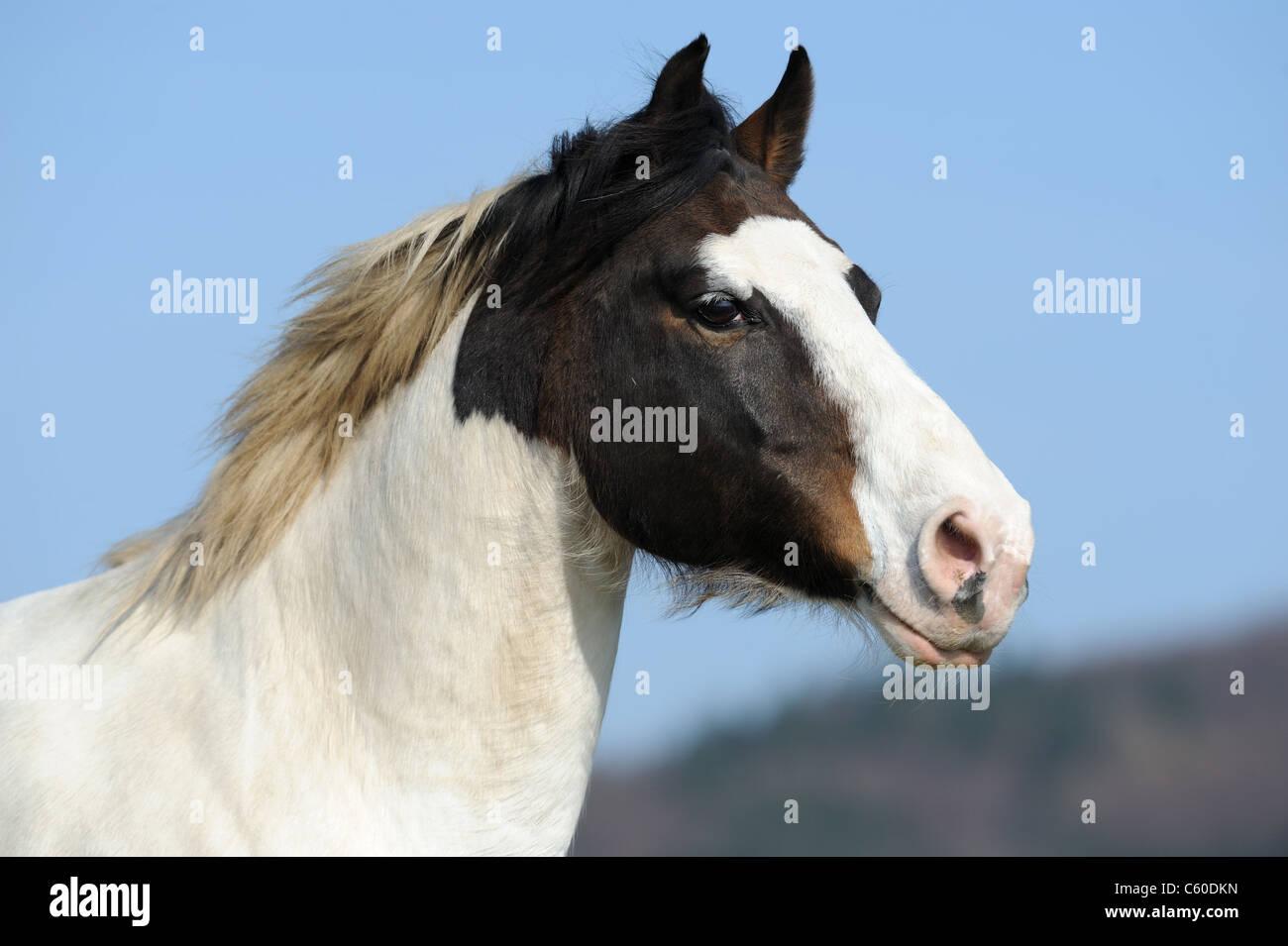 Paint Horse (Equus ferus caballus). Portrait of a gelding. - Stock Image