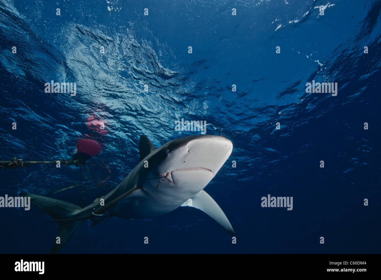 Galapagos shark with fishing hooks in its mouth - Stock Image