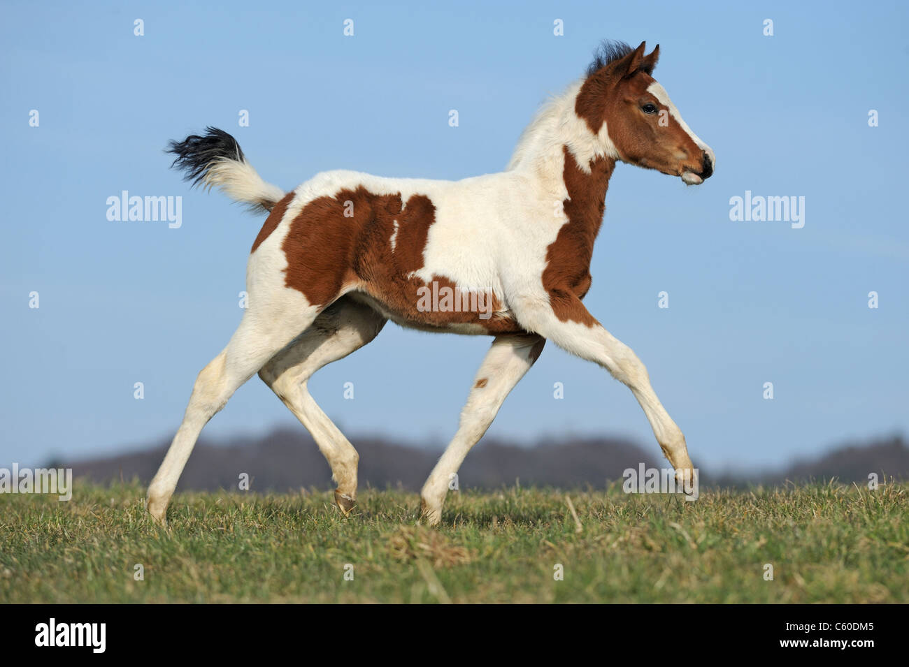 Paint Horse (Equus ferus caballus). Foal trotting on a meadow. - Stock Image