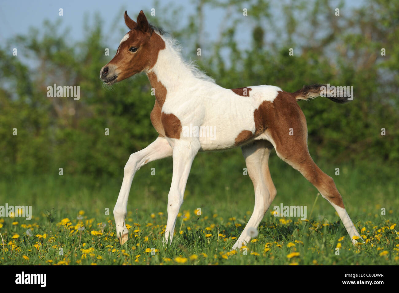 Arabian Pinto Horse (Equus ferus caballus), foal in a gallop on a meadow. - Stock Image