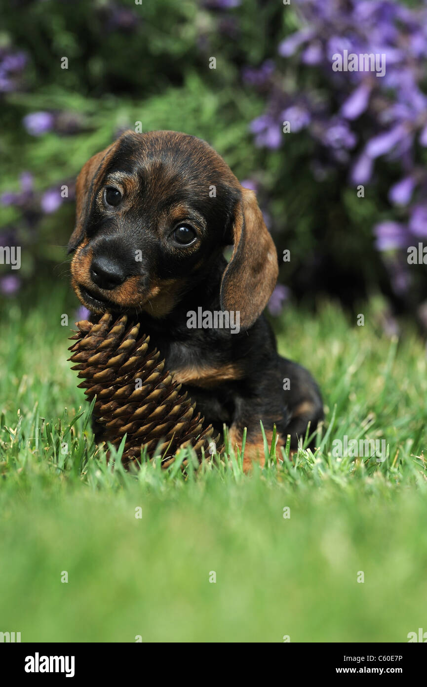 Wire-haired Dachshund (Canis lupus familiaris). Puppy chewing on a ...