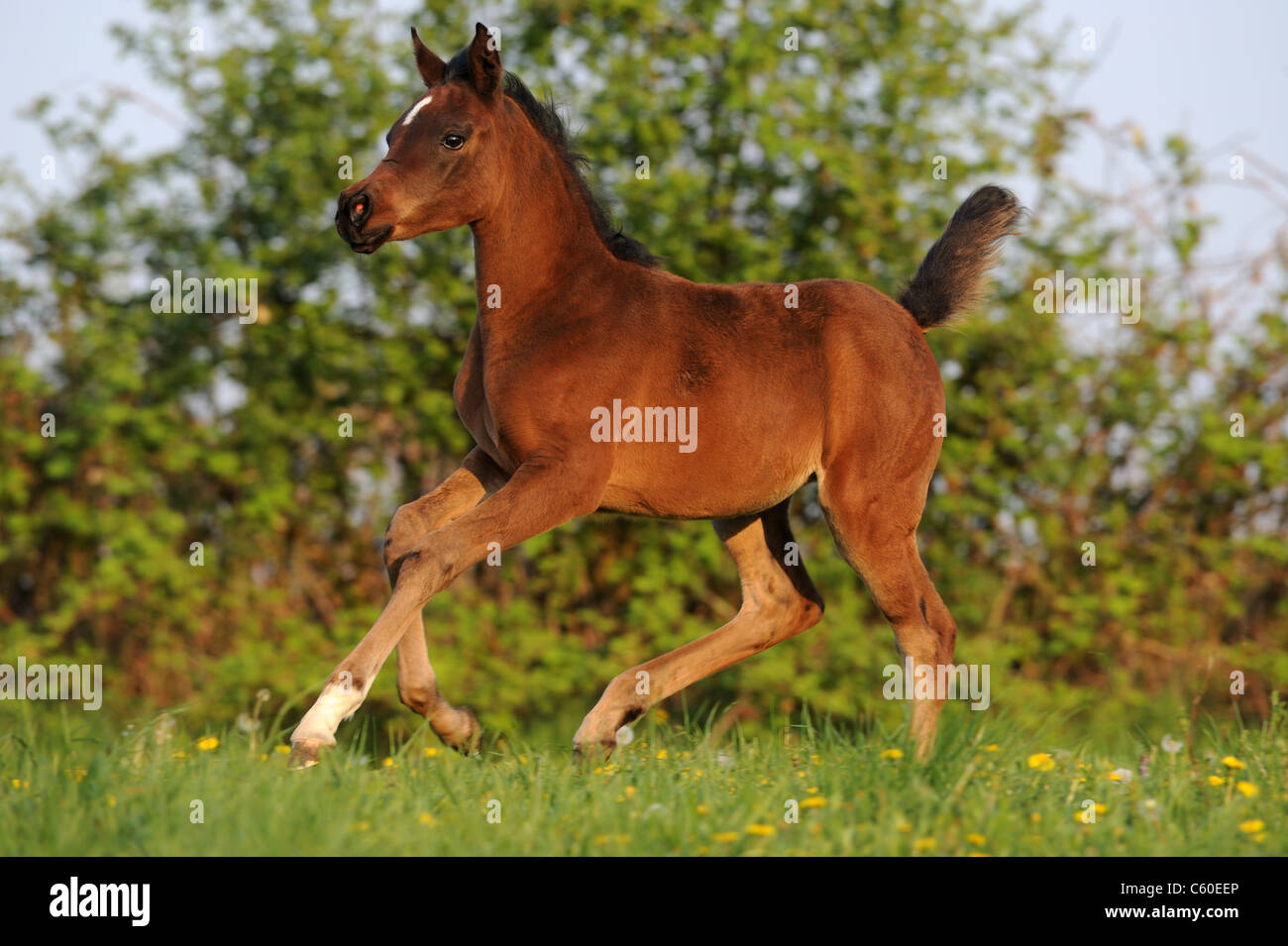Purebred Arabian Horse (Equus ferus caballus). Bay foal in a gallop on a meadow. - Stock Image