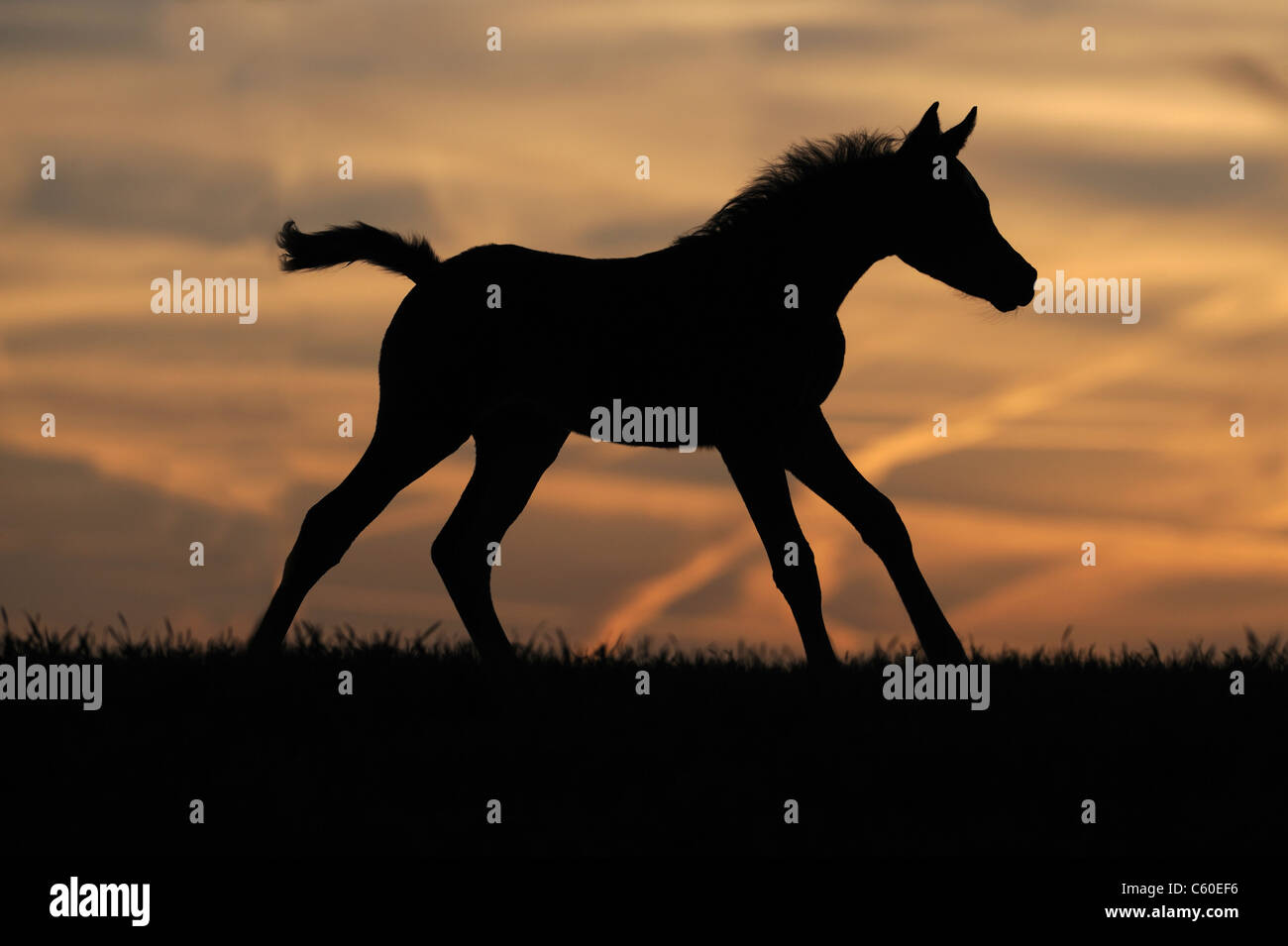 Purebred Arabian Horse (Equus ferus caballus). Foal in a gallop silhouetted against the setting sun. - Stock Image