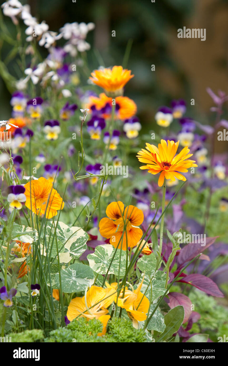 Pansy, Viola, Violet and Marigolds, England, UK - Stock Image