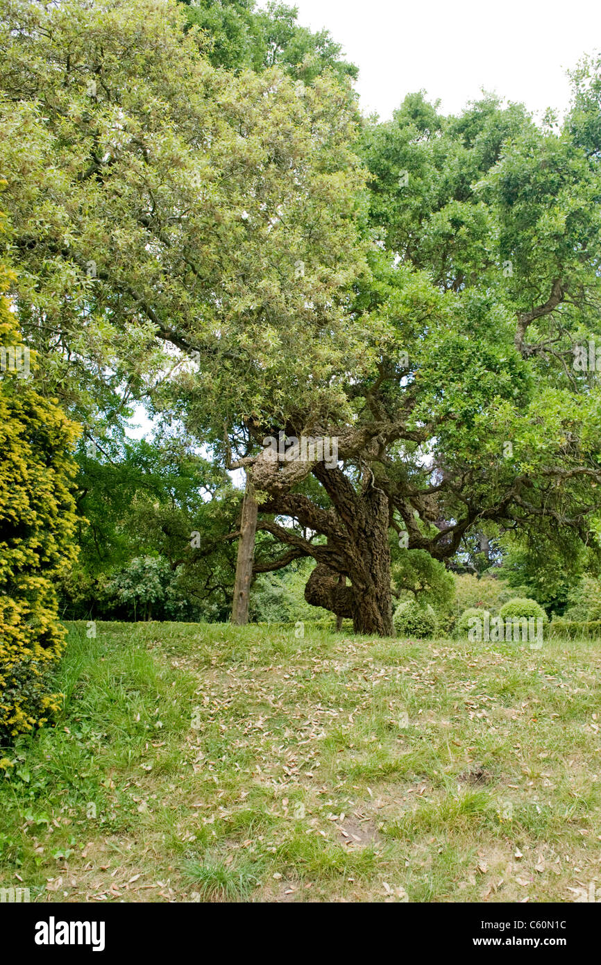 Arundel Castle grounds West Sussex ancient cork oak tree Quercus Suber used for cricket ball bottle corks field - Stock Image