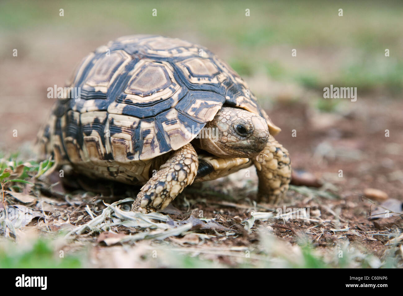 Leopard (Mountain) Tortoise, Geochelone pardalis, Kruger National Park, South Africa - Stock Image