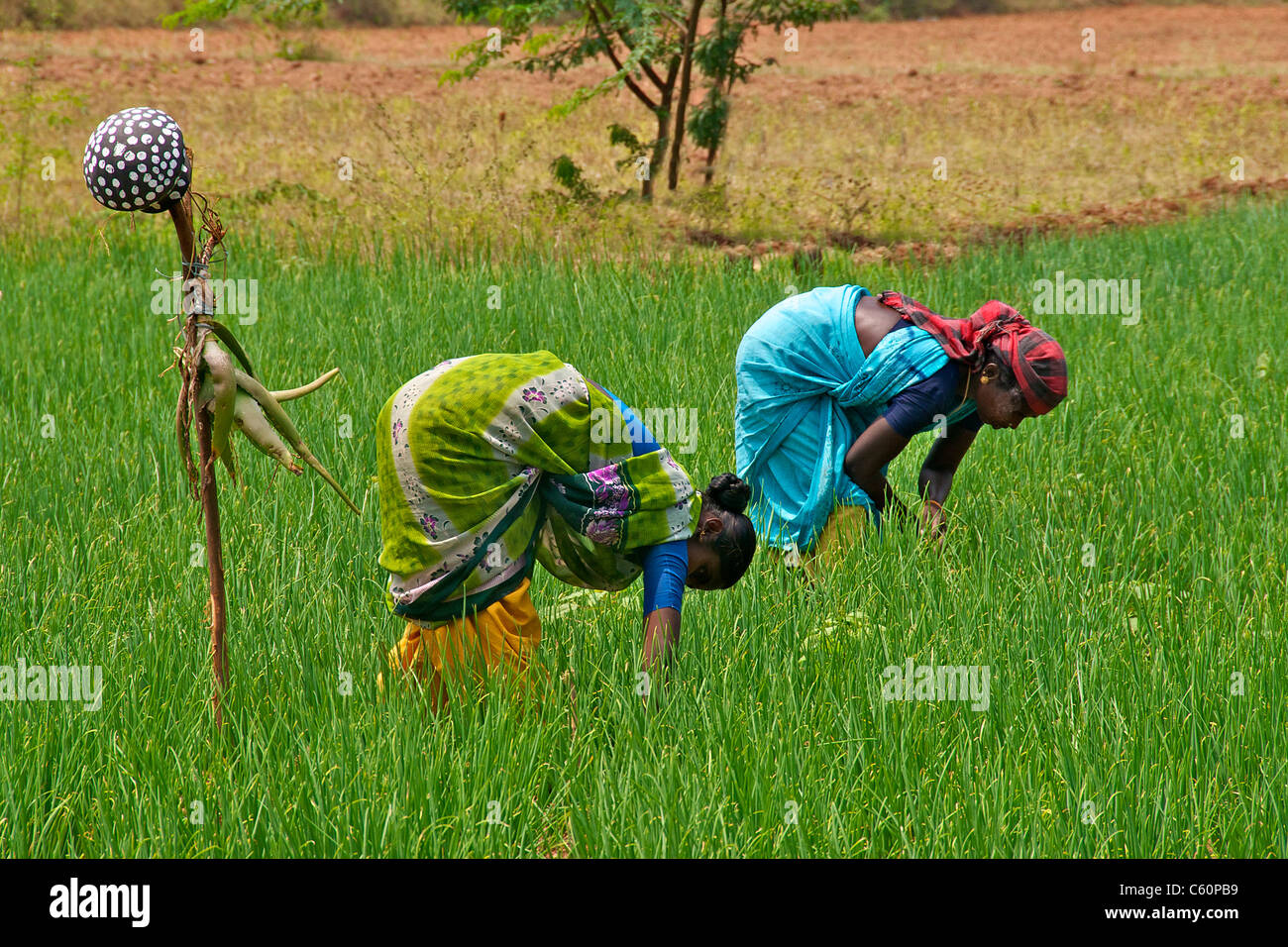 Two women working in field Dindigul Tamil Nadu South India