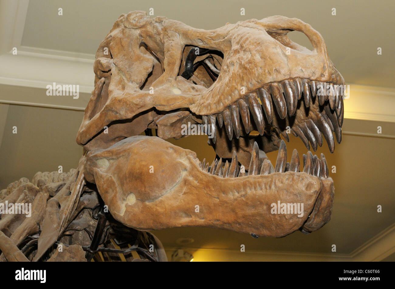 Tyrannosaurus rex skeleton from the late Cretaceous - Stock Image