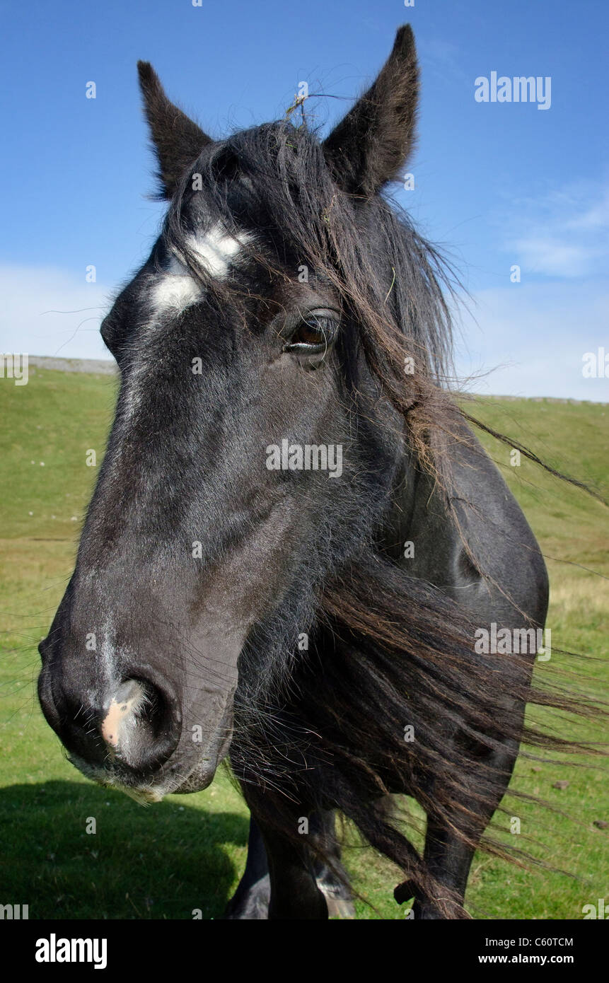 Fell pony - Stock Image