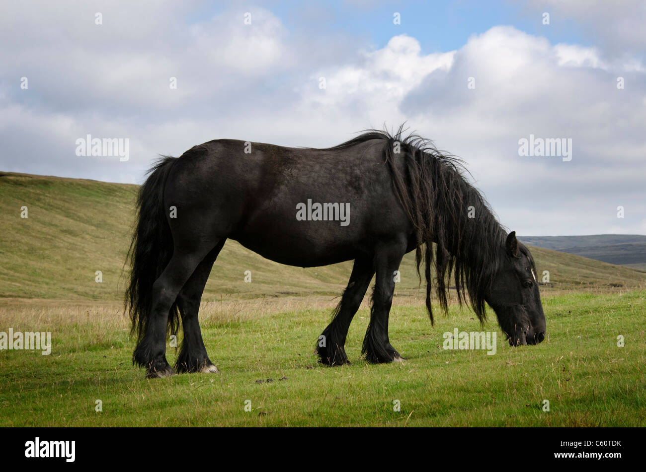 Fell pony grazing on the Northern Pennines - Stock Image