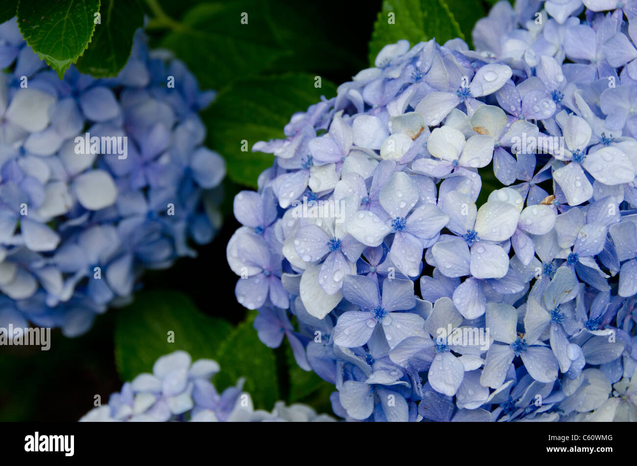 Massachusetts, Martha's Vineyard, Oak Bluffs. Blue hydrangeas wet with raindrops. - Stock Image