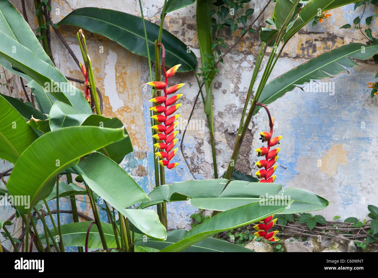 Heliconia pendula, Antigua, Guatemala - Stock Image