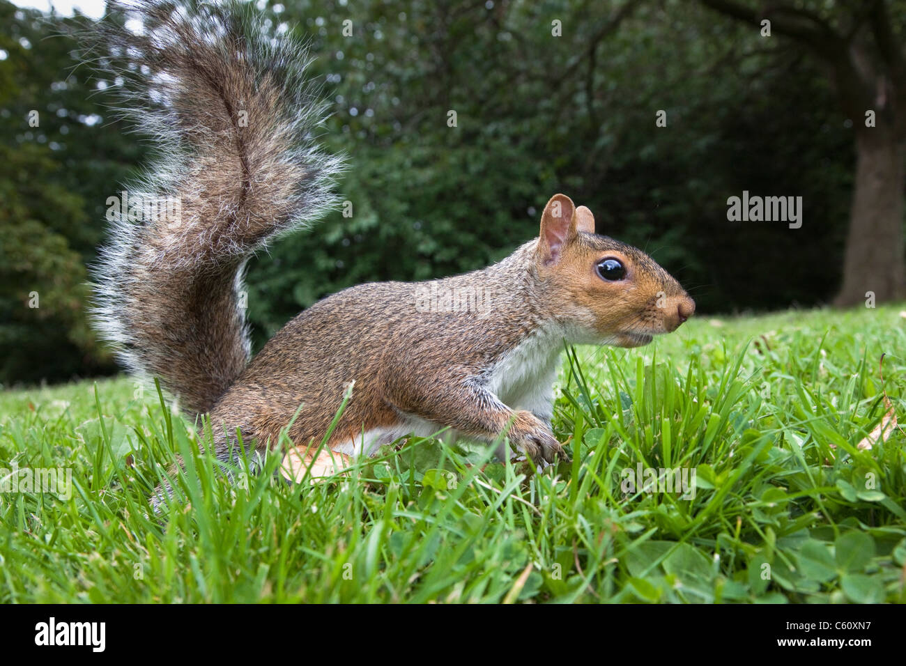 Grey squirrel, Sciurus carolinensis, in city park, Brandon Park, Bristol, UK - Stock Image