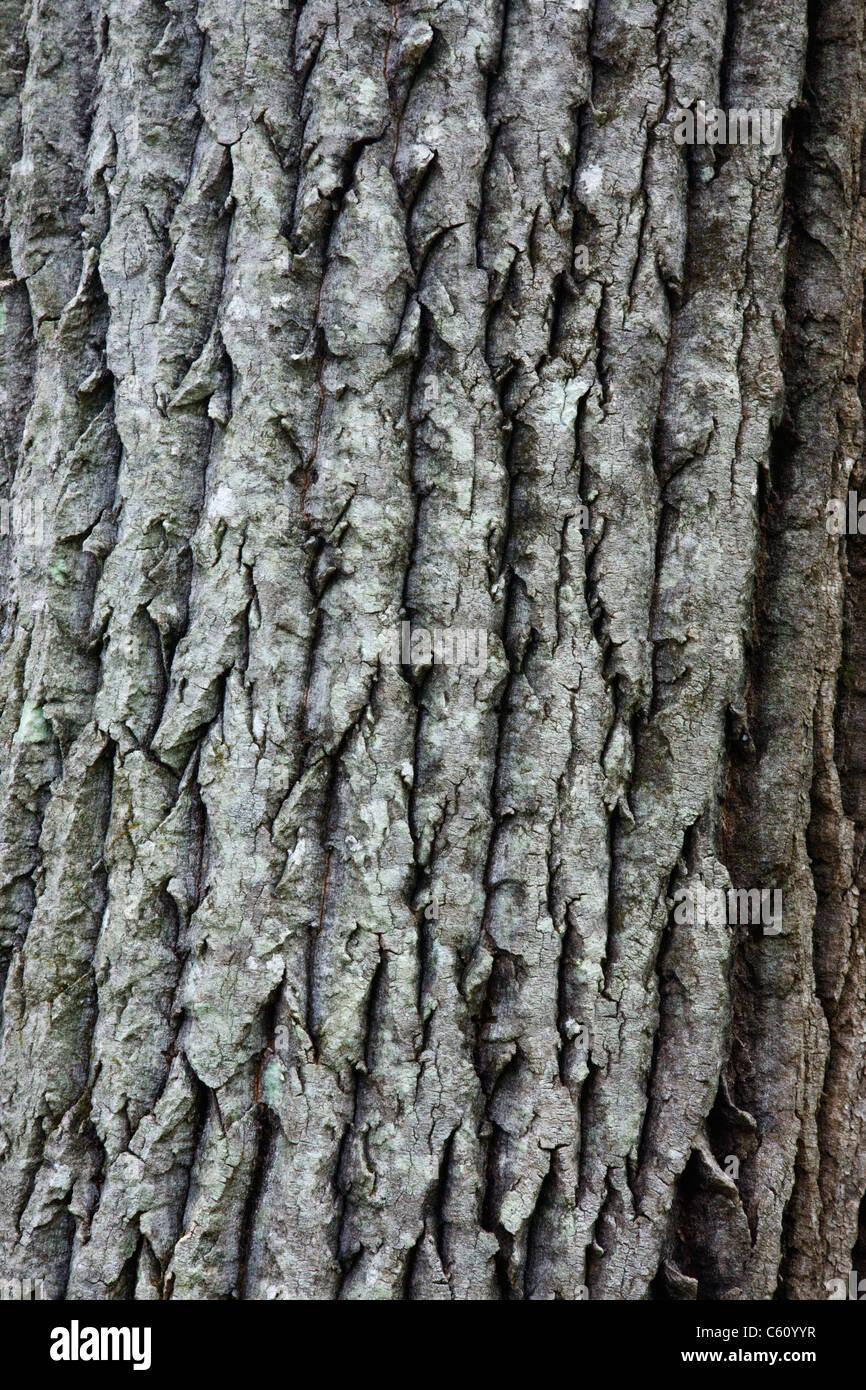 Bark of a old Bigtooth Aspen - (Populus grandidentata) along the Attitash Trail in Bartlett, New Hampshire USA Stock Photo