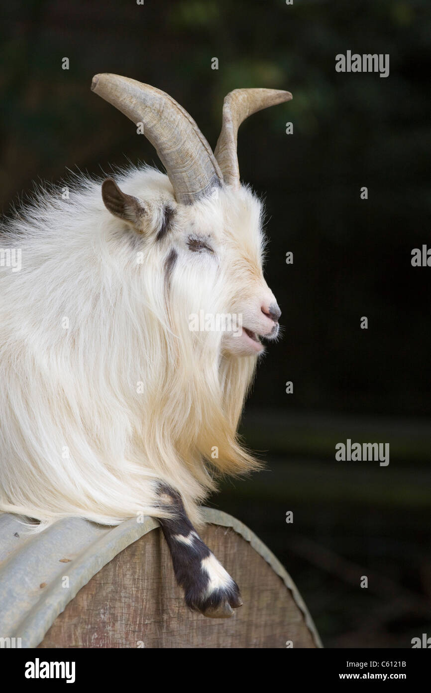 White African Pygmy goat - Stock Image