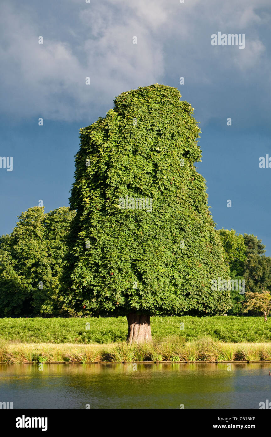Trimmed sweet chestnut tree, Bushy Park, London, UK Stock Photo