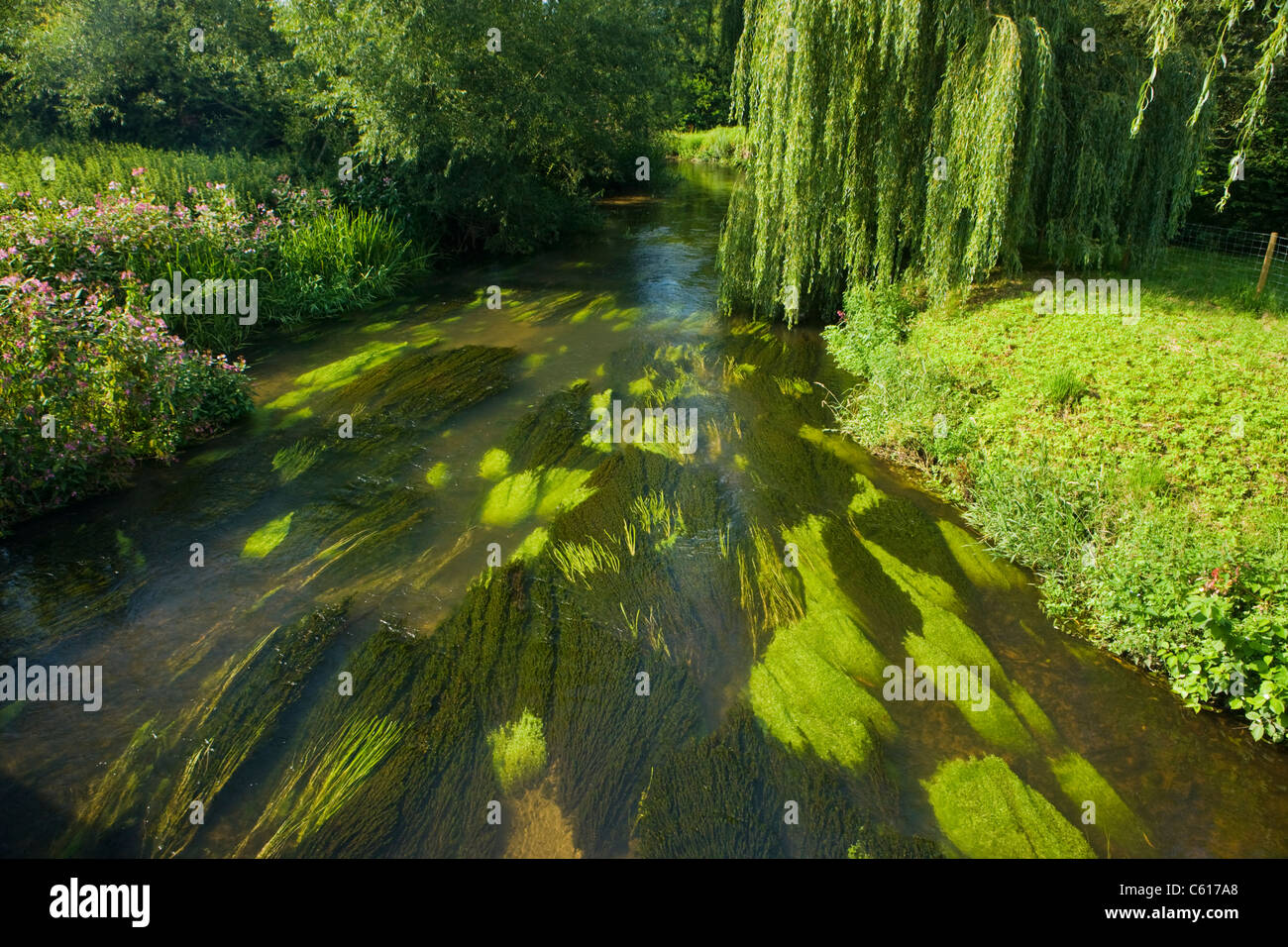 Vibrant growth in River Wey at Elstead, Surrey, UK. - Stock Image