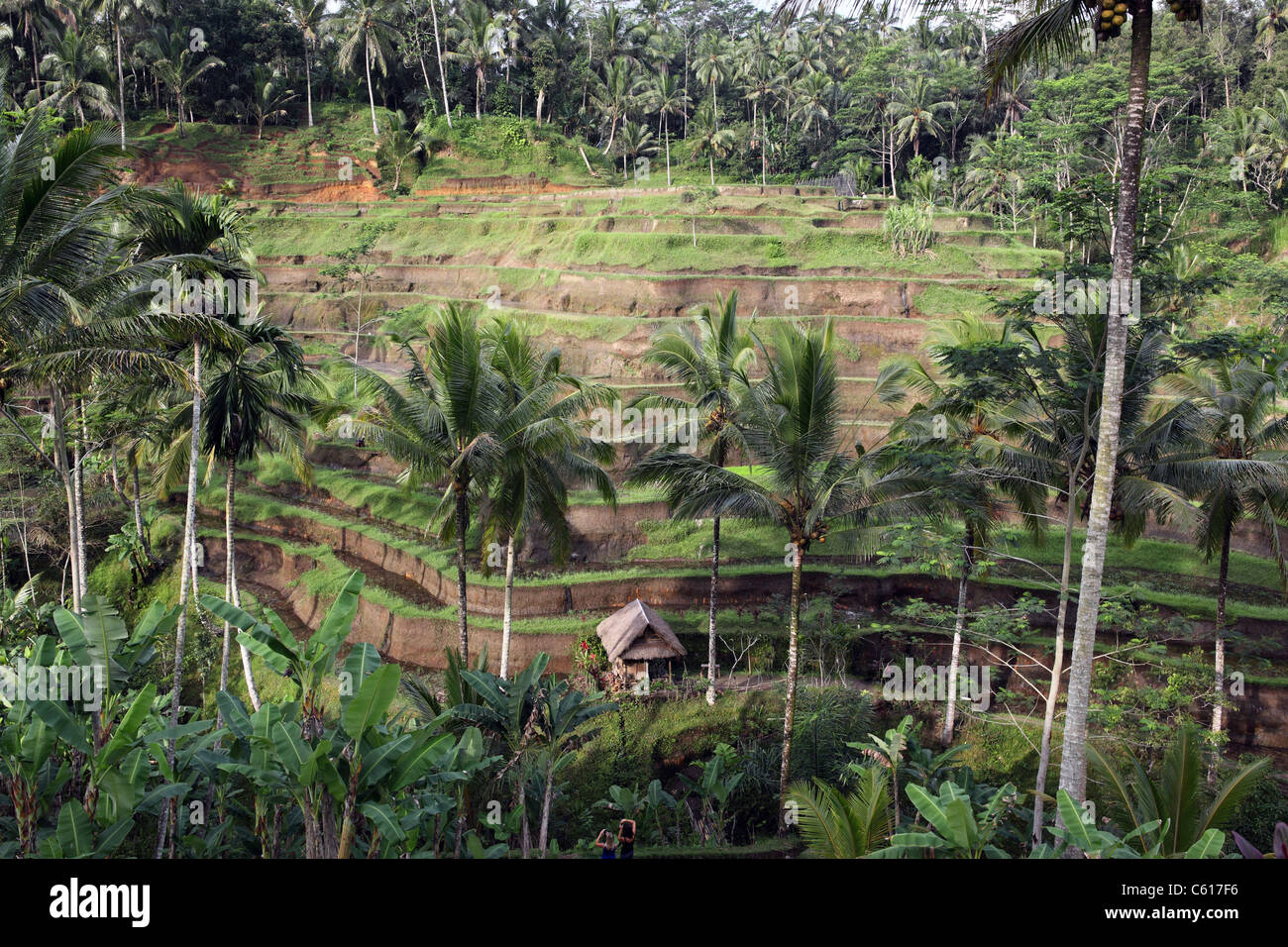Rice terraces in Tegal Lalang. - Stock Image