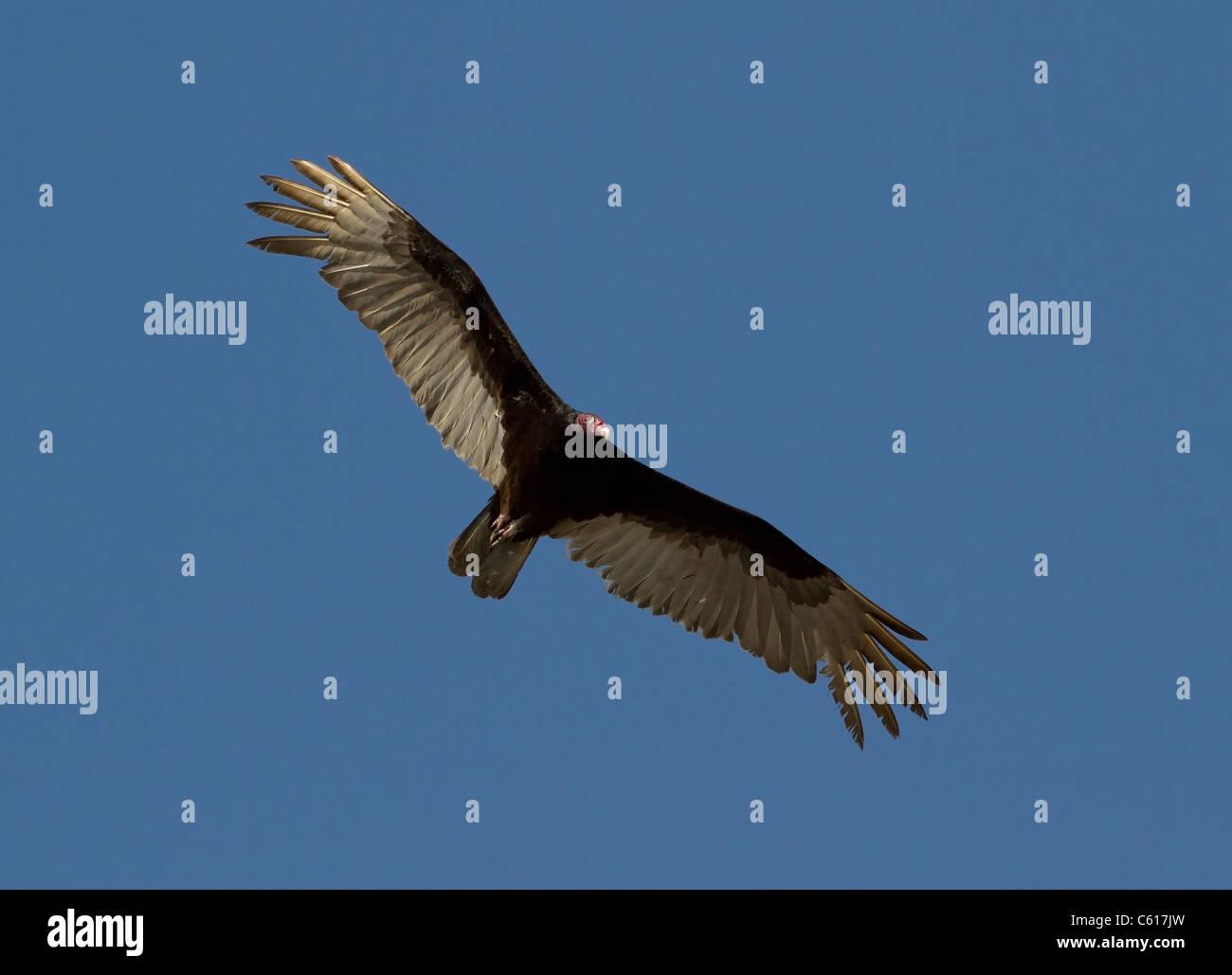 Turkey Vulture (Cathartes aura) in flight - Stock Image