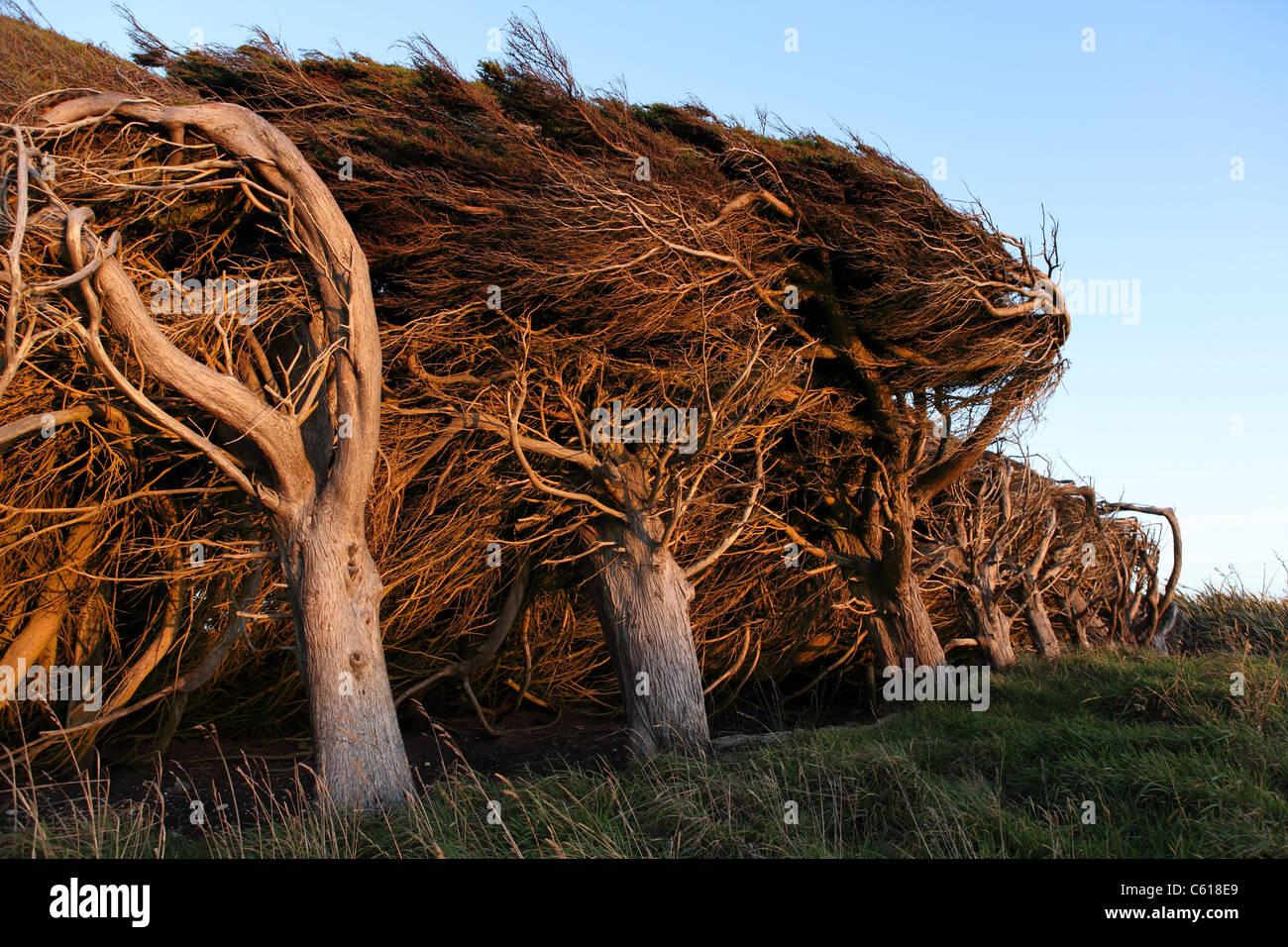 Wind Gnarled Stock Photos & Wind Gnarled Stock Images - Alamy