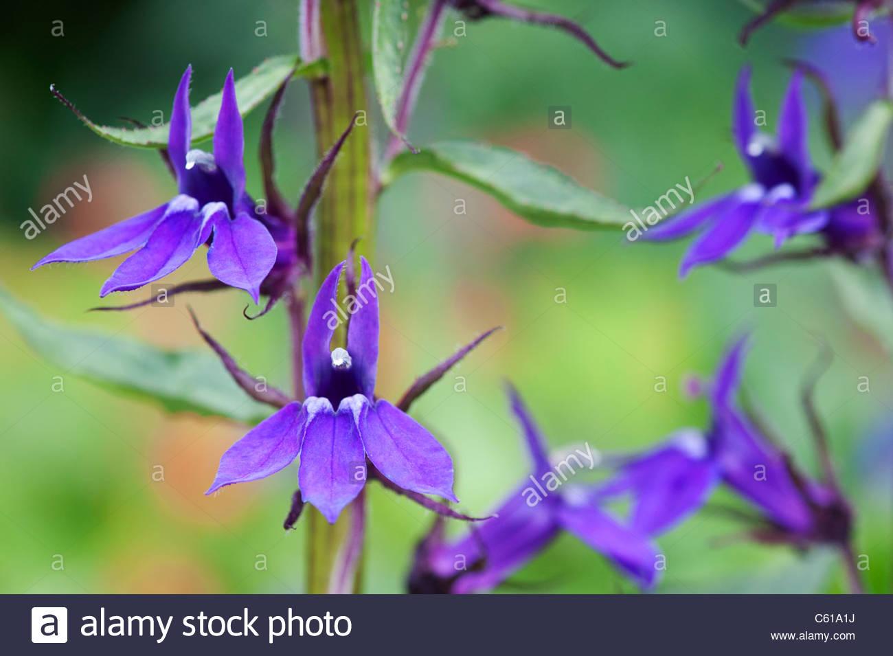 Lobelia × speciosa 'Vedrariensis'. Lobelia 'Vedrariensis' flower - Stock Image