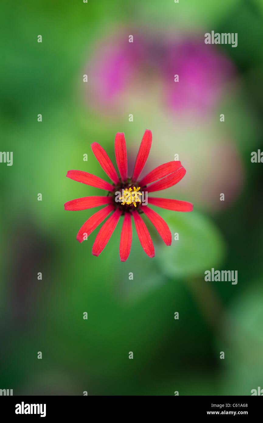 Zinnia tenuifolia. Zinna 'Red Spider' flower - Stock Image