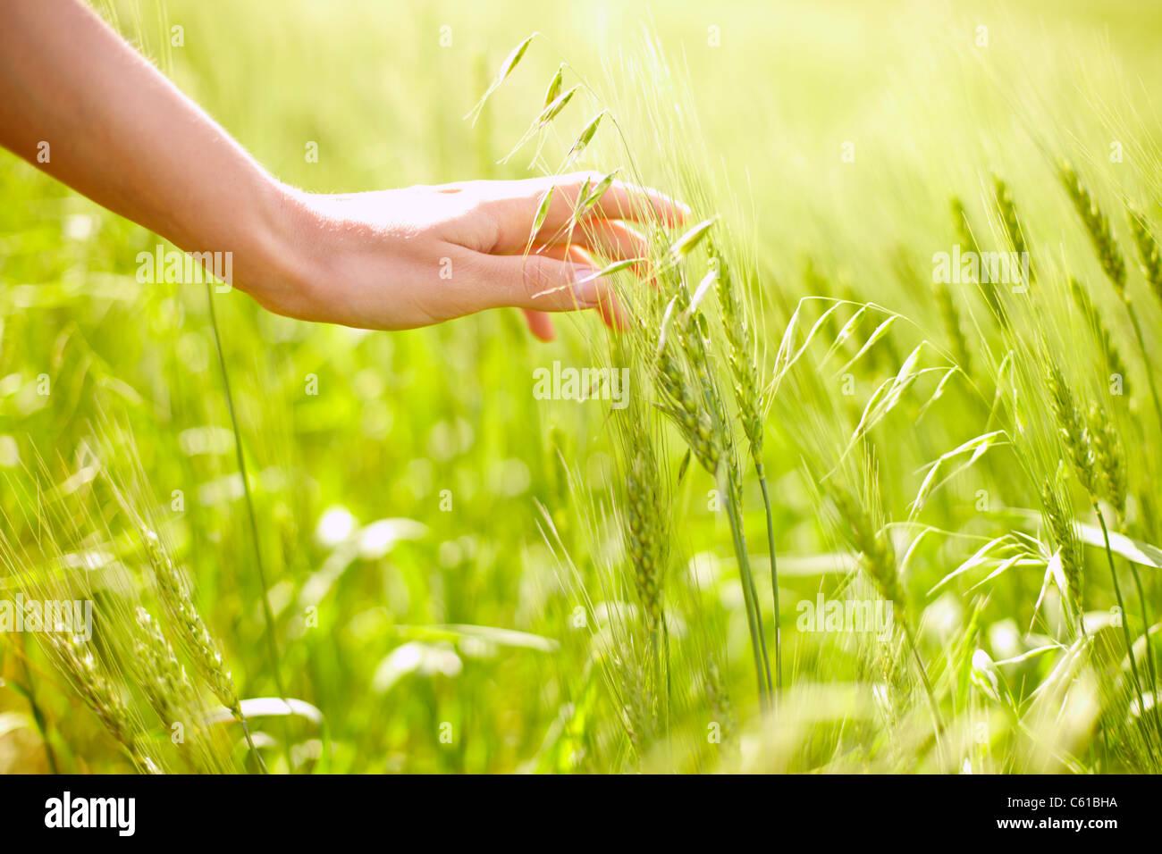 Horizontal image of human hand touching green wheat ears on field - Stock Image