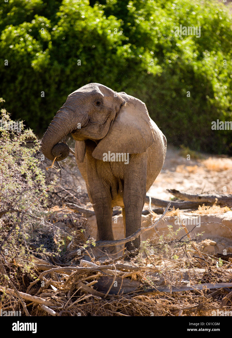 A desert adapted elephant eating bark. Hoarusib riverbed, Purros, Northern Kaokoland, Kaokoveld, Namibia. - Stock Image