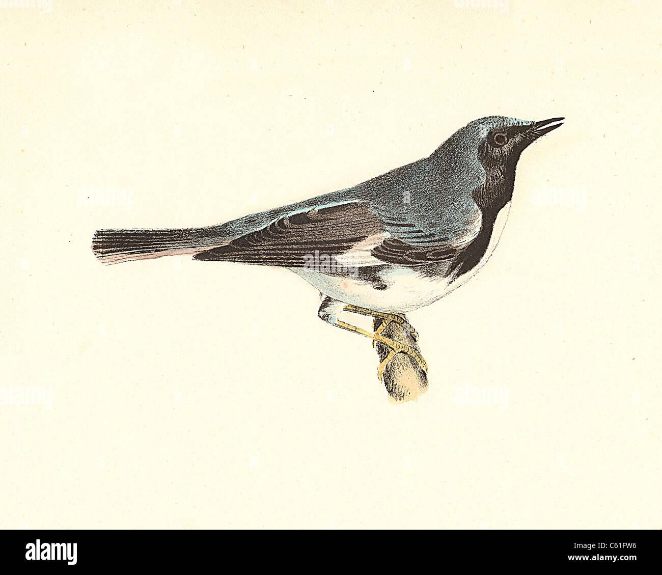 Northern Mockingbird   Birds B /& W litho 1869