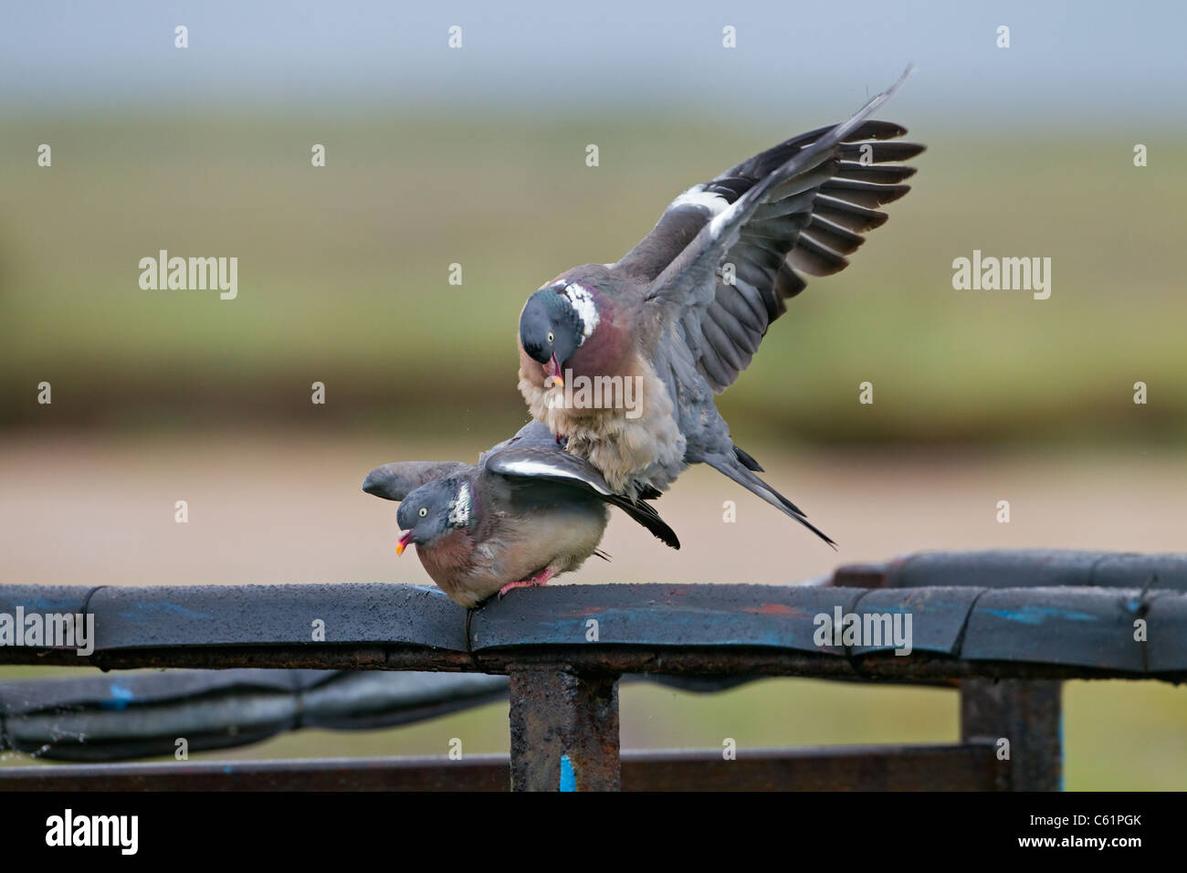 two Wood Pigeons Columba palumbus pairing and courtship - Stock Image