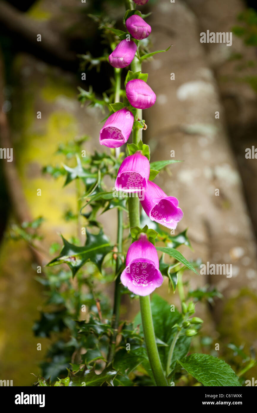 Foxgloves, Digitalis Purpurea, Grizedale Forest, Cumbria - Stock Image