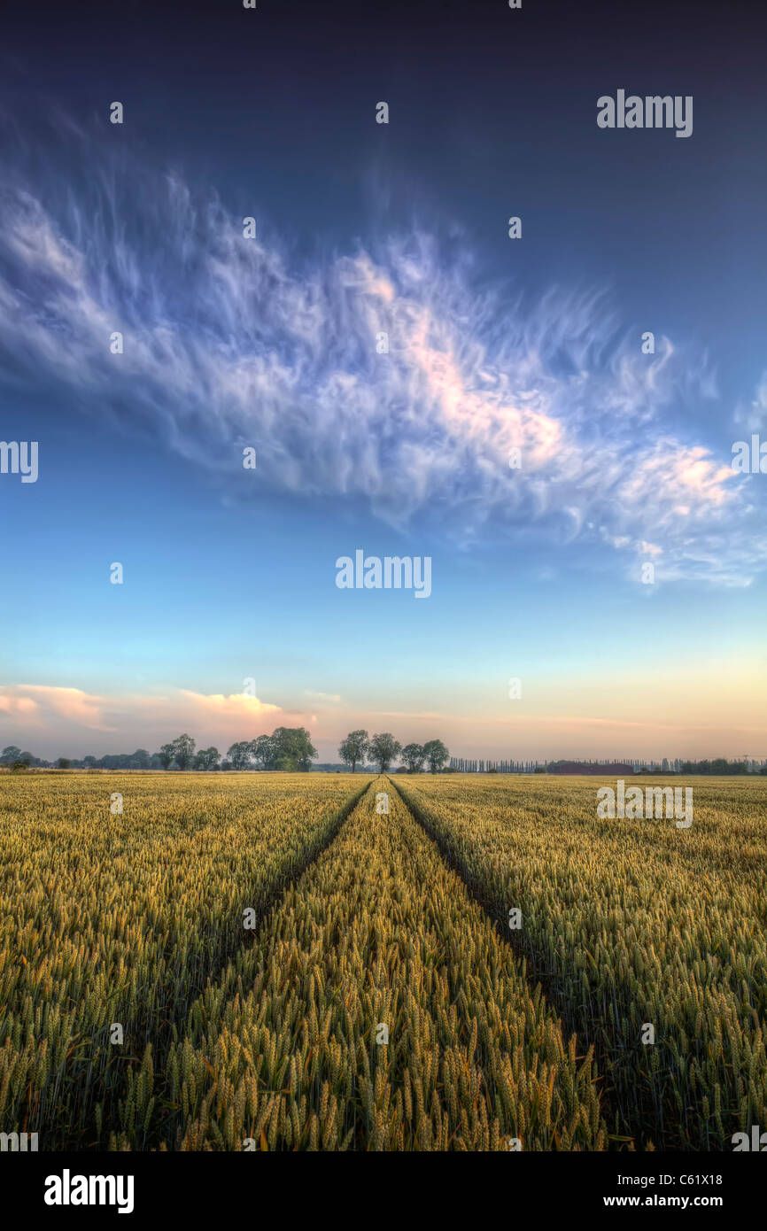 A wheat field at dawn with wispy clouds above. - Stock Image