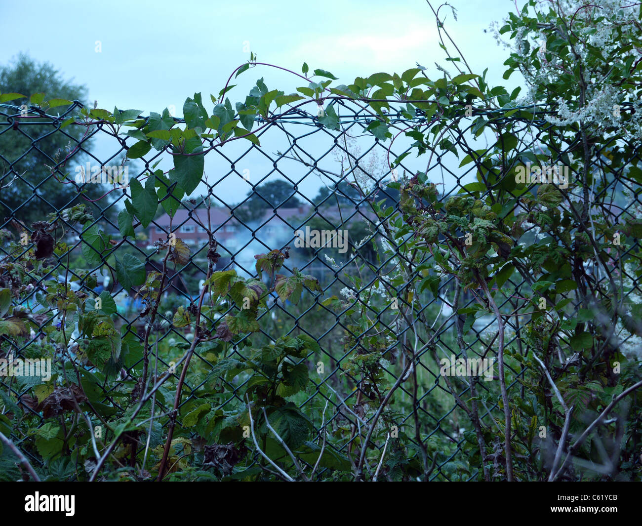 Overgrown vines smothering the wire fence that surrounds allotments ...