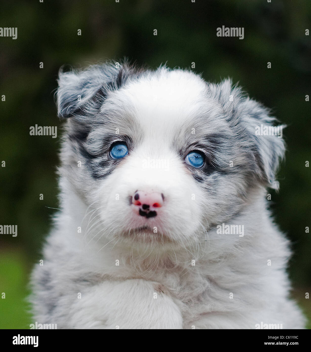 cute blue merle collie puppy with blue eyes stock photo