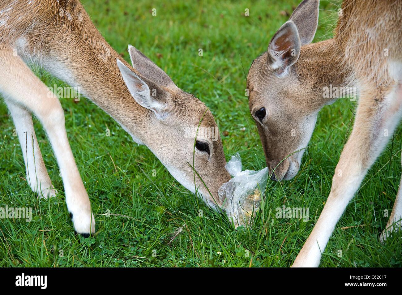 Fallow Deer, Female, UK (Dama dama) eating plastic bag - Stock Image