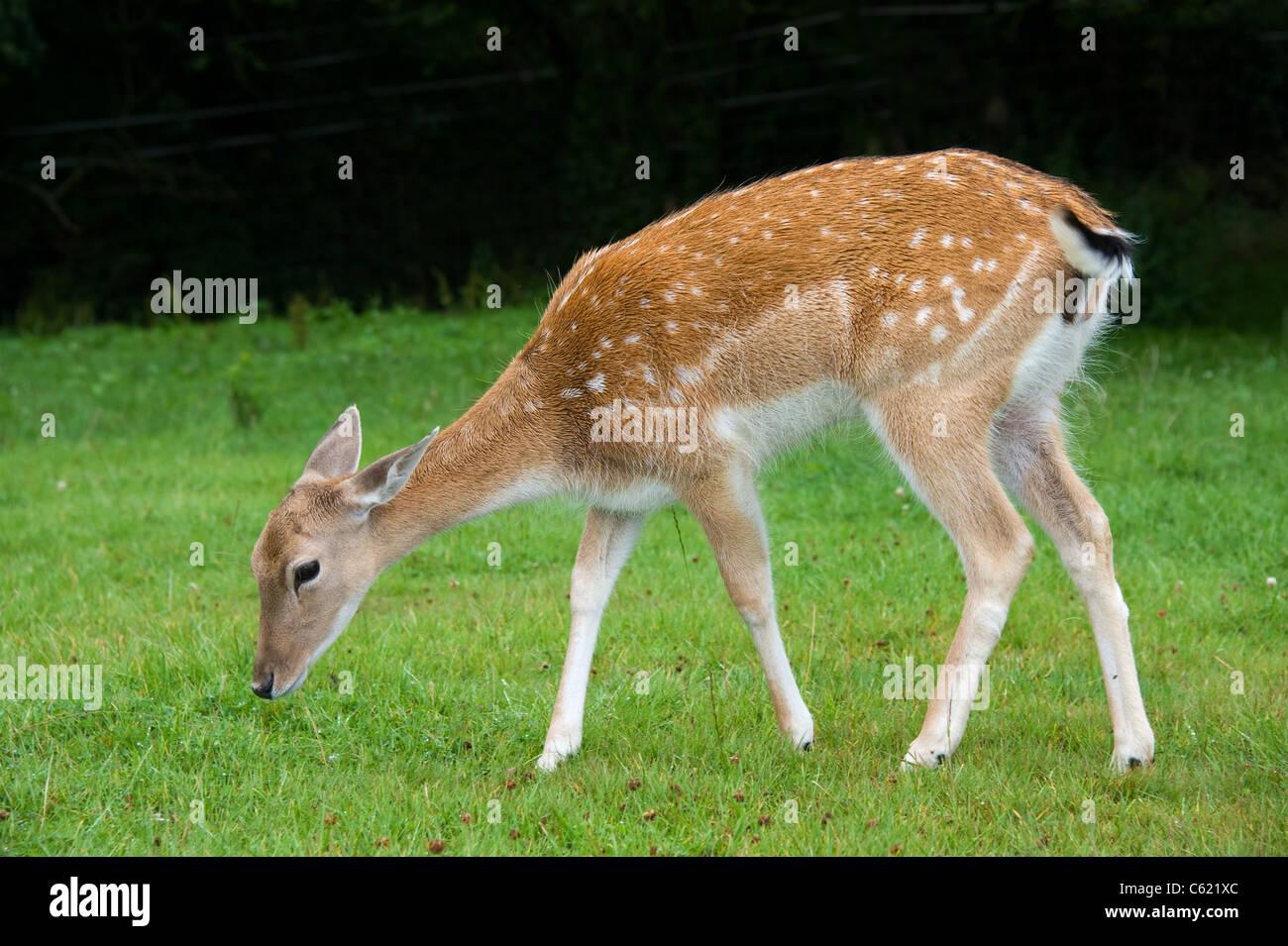 fallow deer female uk dama dama stock photo 38154100 alamy