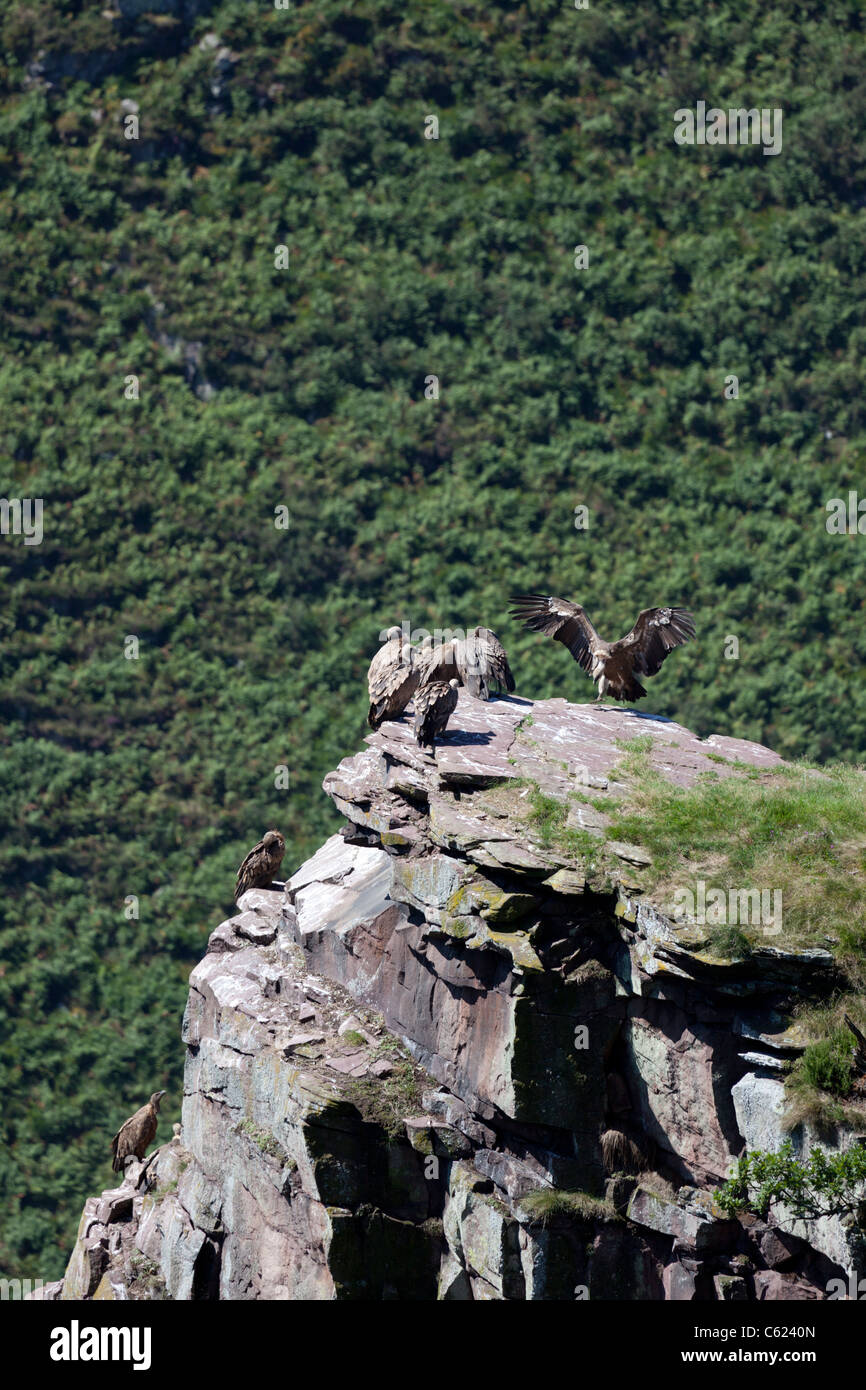 Wild Griffon vultures resting at summit level, in the Western Pyrenees (France). Vautours fauves se reposant hors - Stock Image
