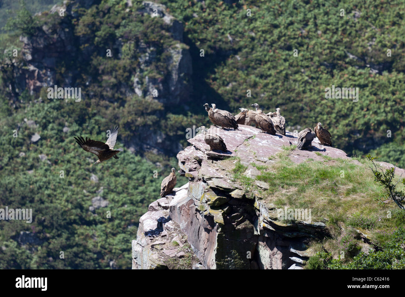 In the Western Pyrenees, wild Griffon vultures resting at summit level (France). Vautours chauves se reposant hors - Stock Image