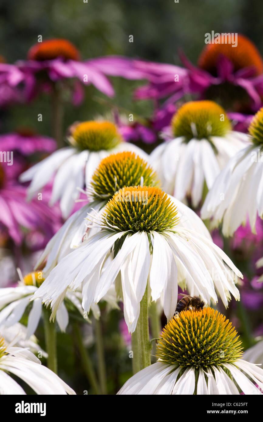 Echinacea purpurea. Coneflowers in the garden. - Stock Image