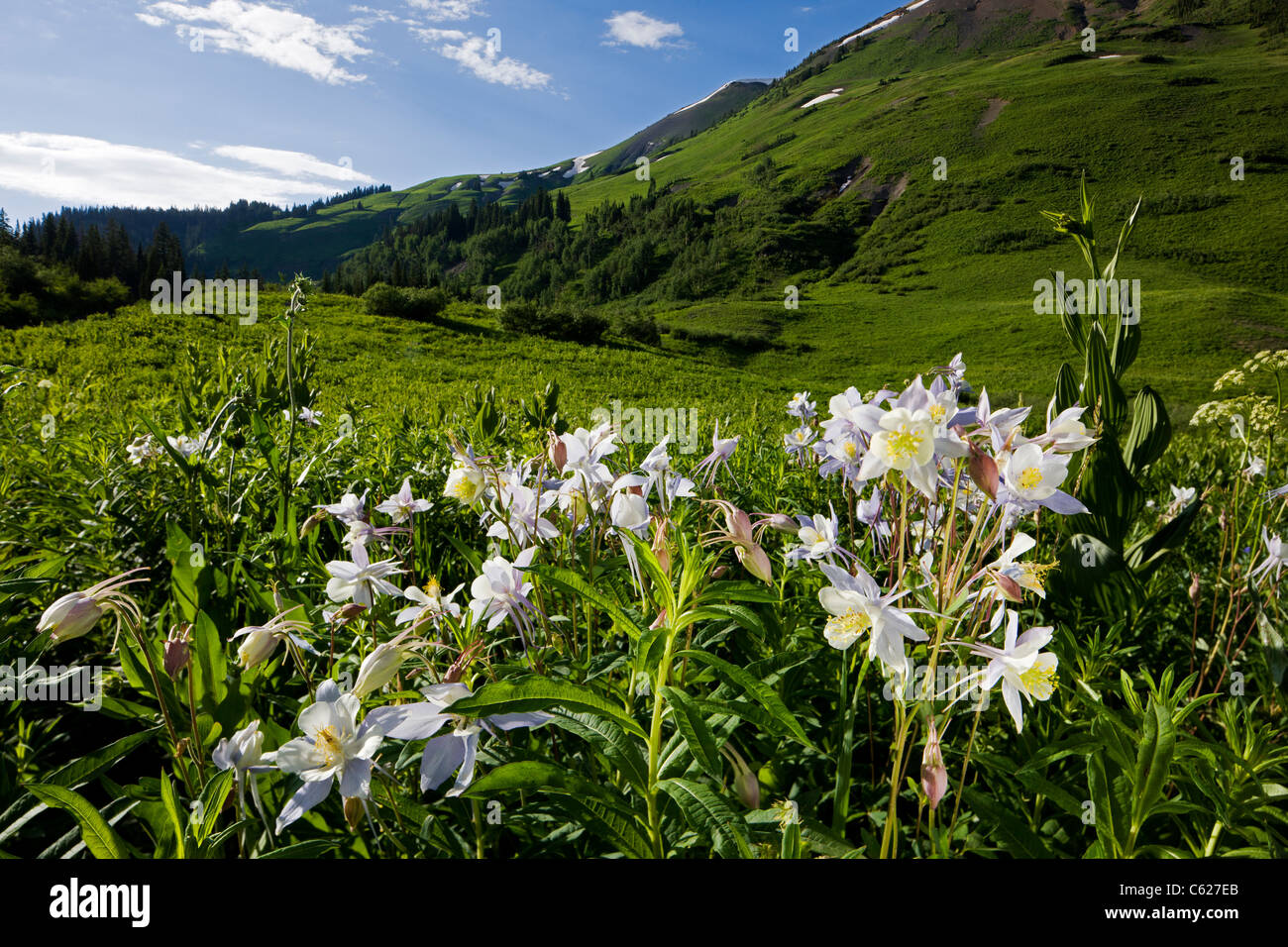 Rocky Mountain Columbine, Hellebore Family,Ranunculaceae (Buttercup Family) grow along Gothic Road, Crested Butte, Stock Photo