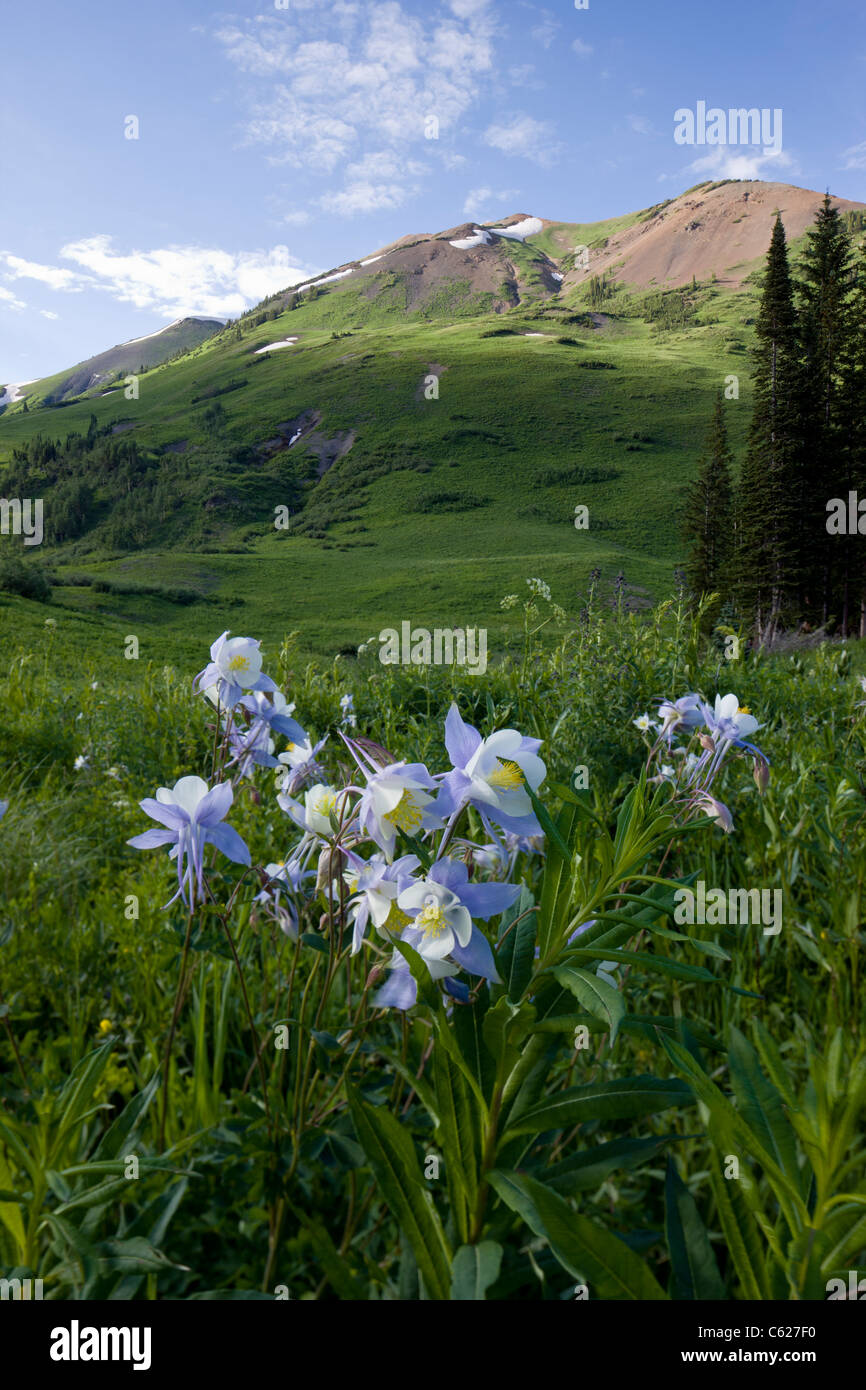 Rocky Mountain Columbine, Hellebore Family, Ranunculaceae (Buttercup Family) grow along Gothic Road, Crested Butte, Stock Photo