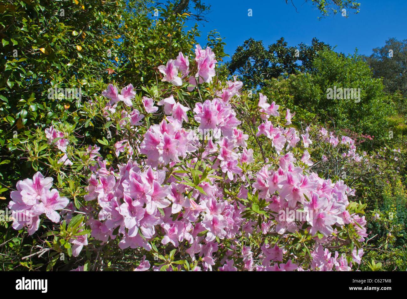 Azaleas in bloom at Bellingrath Gardens near Moblie, Alabama in early spring. Stock Photo